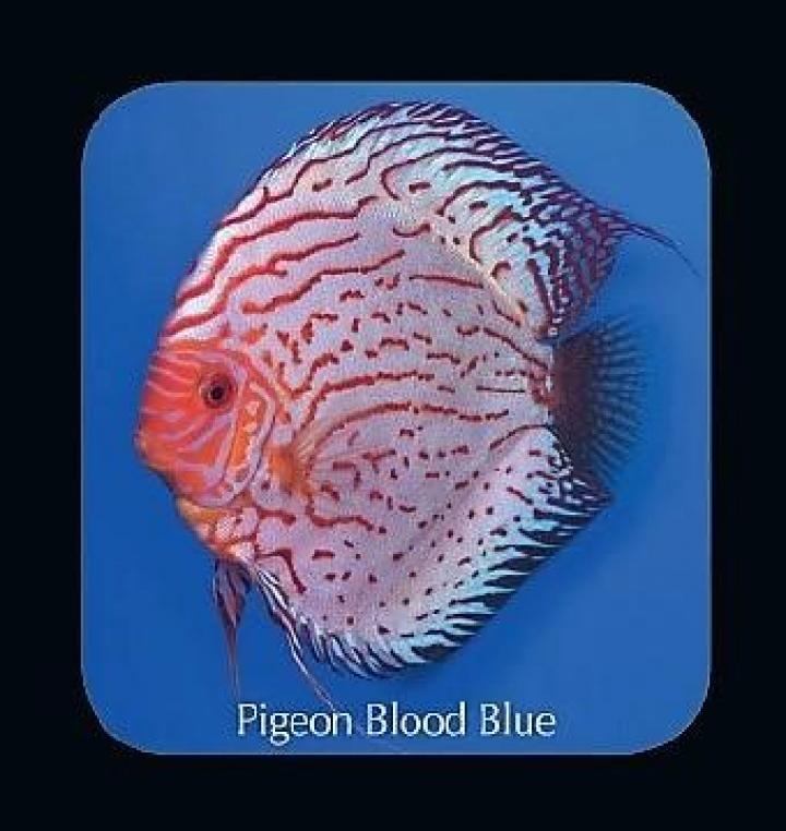 Discus  Pigeon Blood Blue 10cm