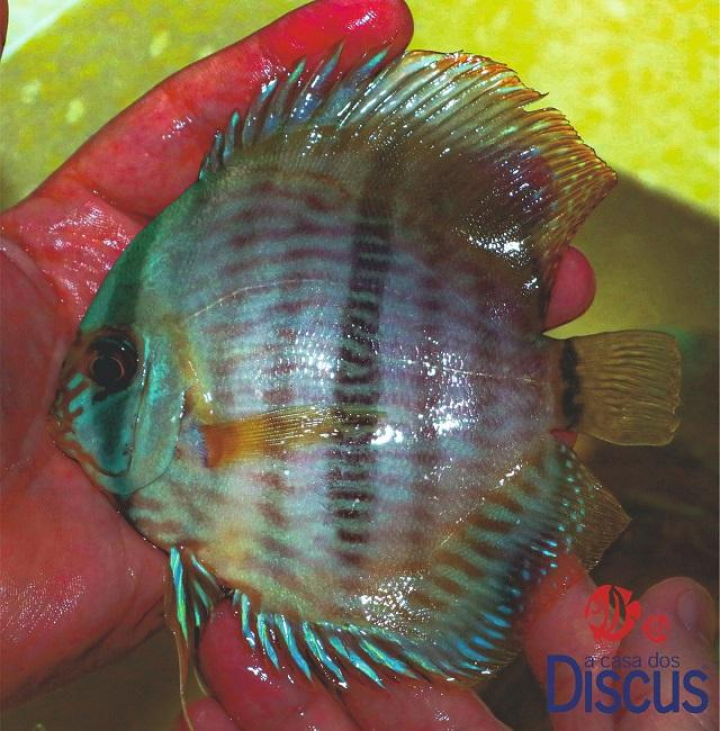 Paunini blue face heckel md/ml