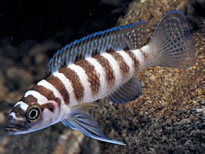 LAMPROLOGUS CYLINDRICUS