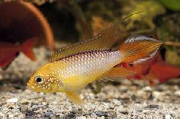 APISTOGRAMMA AGASSIZII FIRE RED female 2,5-3