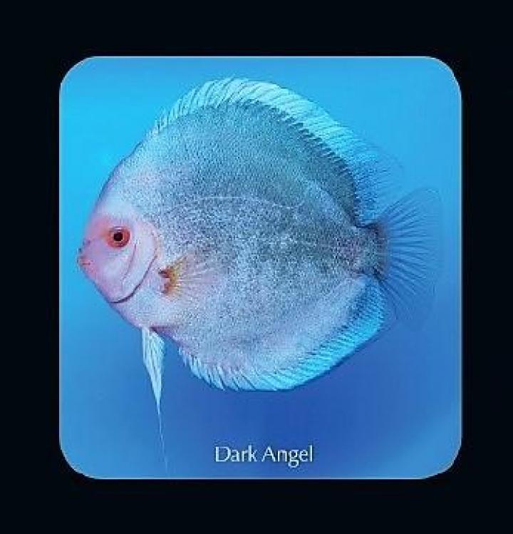 Discus  Dark Angel 6.5cm