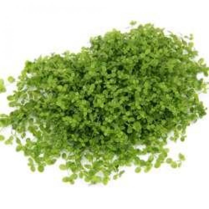 Micranthemum spec. 'Montecarlo'