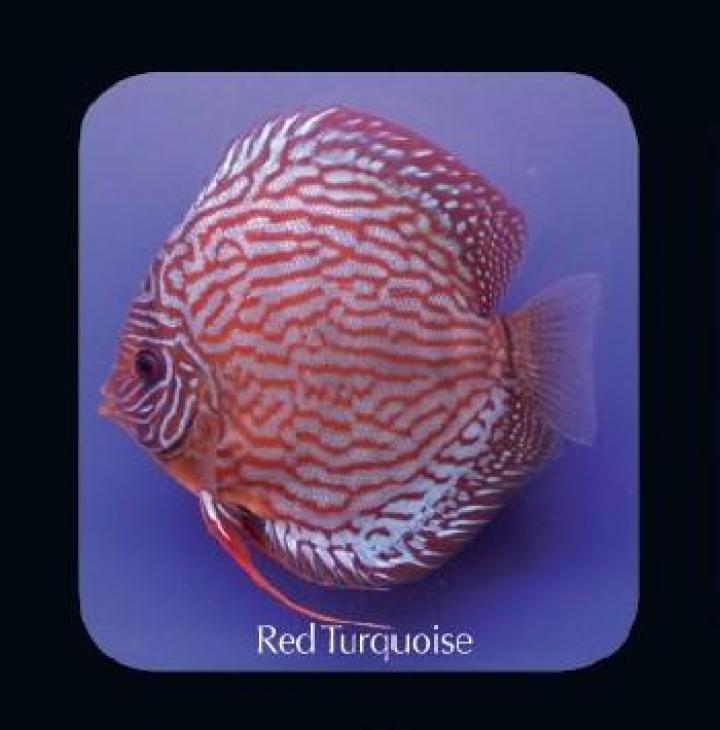 Discus Red Turquoise 8cm