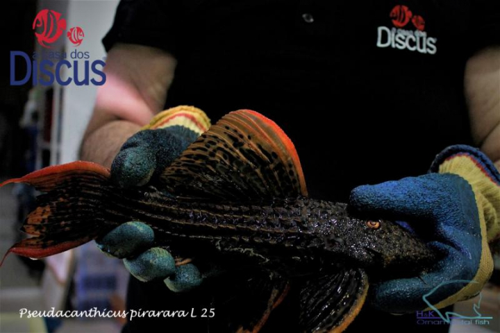 Pseudacanthicus pirarara L025 XLG