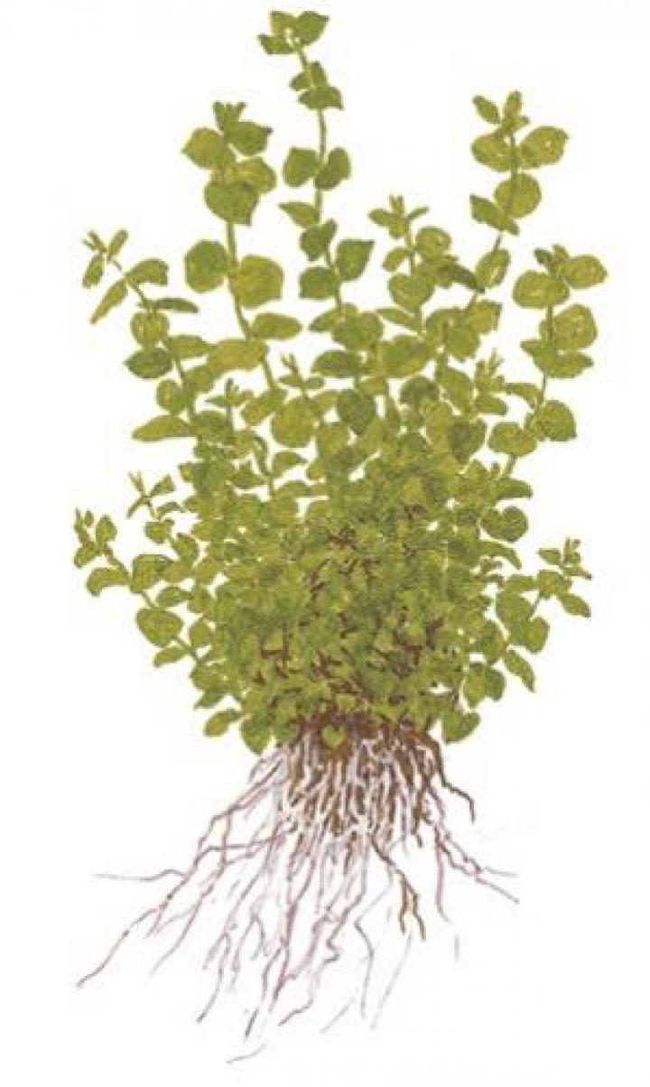 Micranthemum umbrosum - Medium Categ.