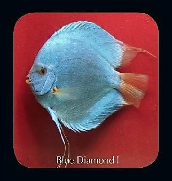 Discus  Blue Diamond I 12 cm