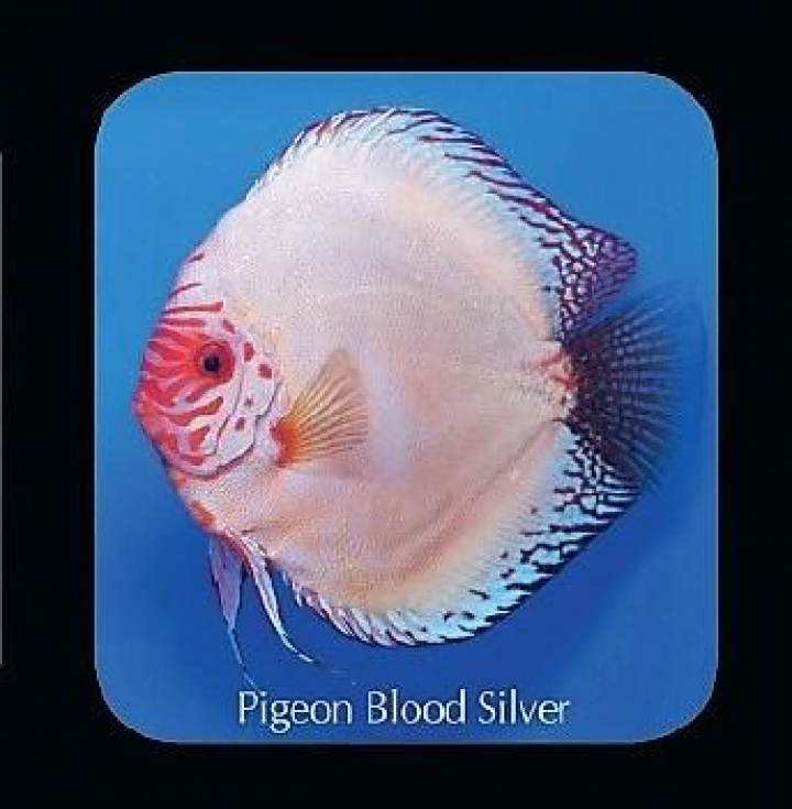 Discus Pigeon Blood Silver 12cm