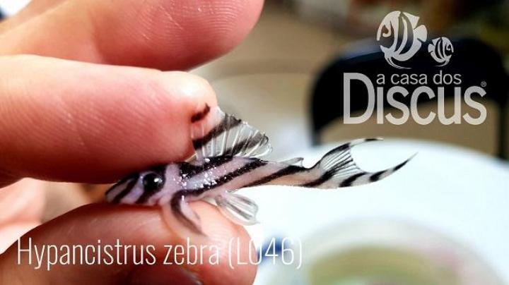 L046 Hypancistrus Zebra S