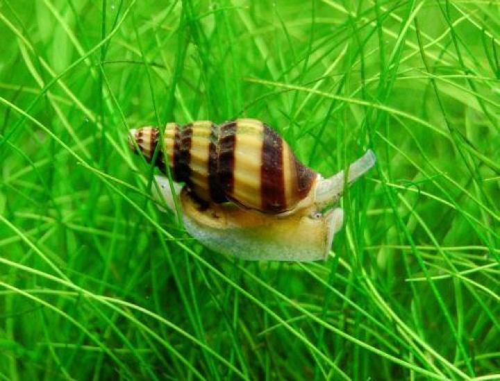 CLEA/ANENTOME  HELENA Canibal Snail  1,5