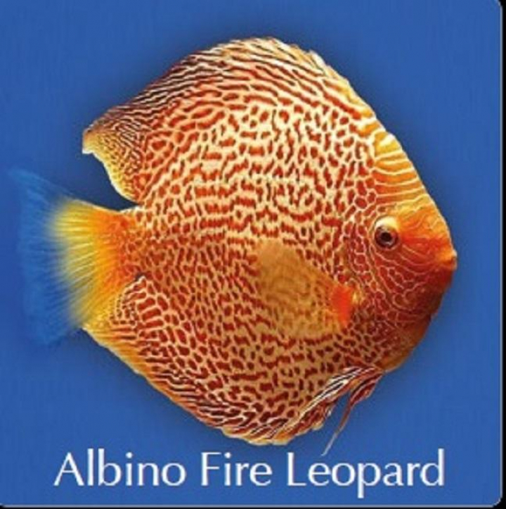 Discus Albino fire Leopard 8cm