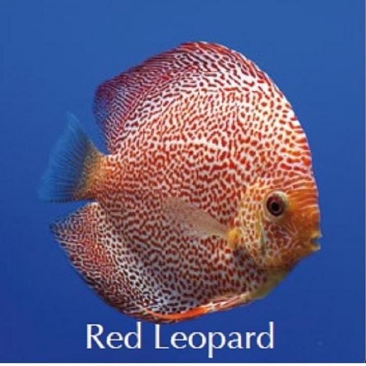 Discus Red Leopard 6.5cm