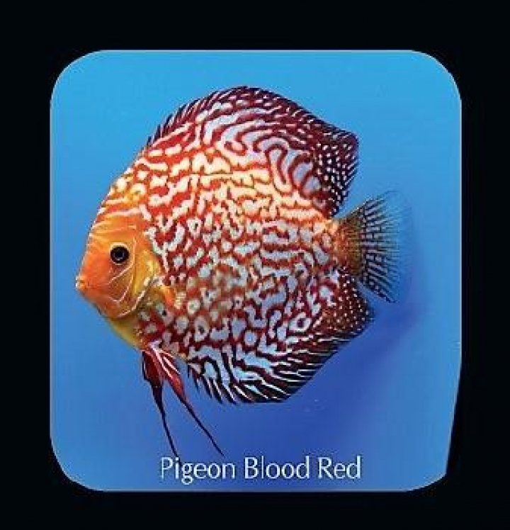 Discus  Pigeon Blood Red 8cm
