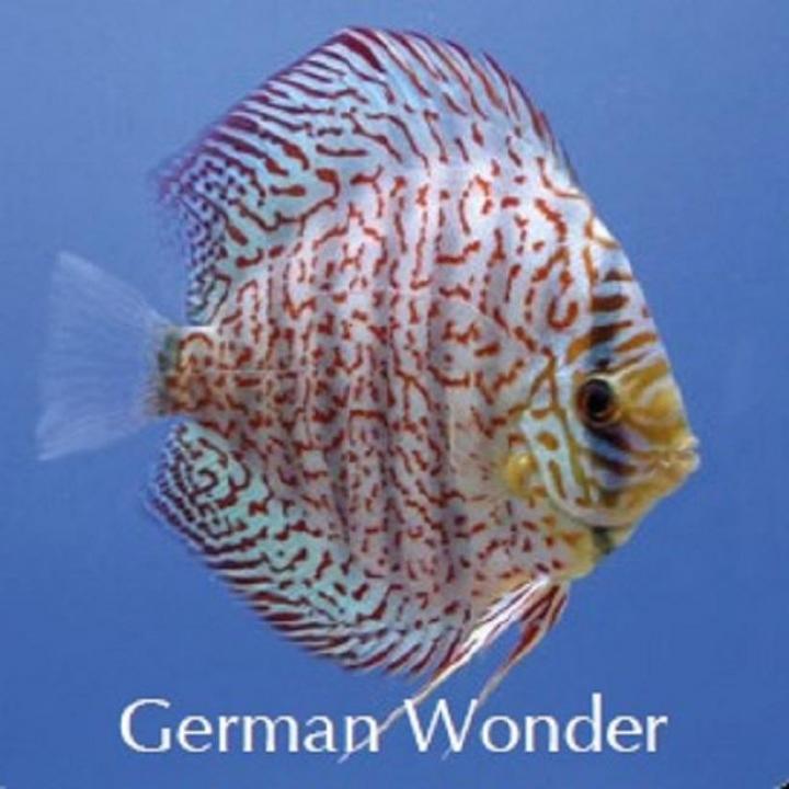 Discus German Wonder 5cm