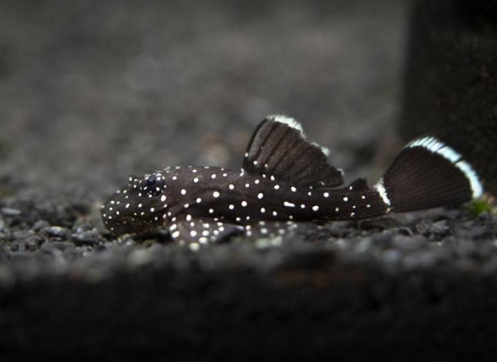 Starlight Pleco L183 4-5cm