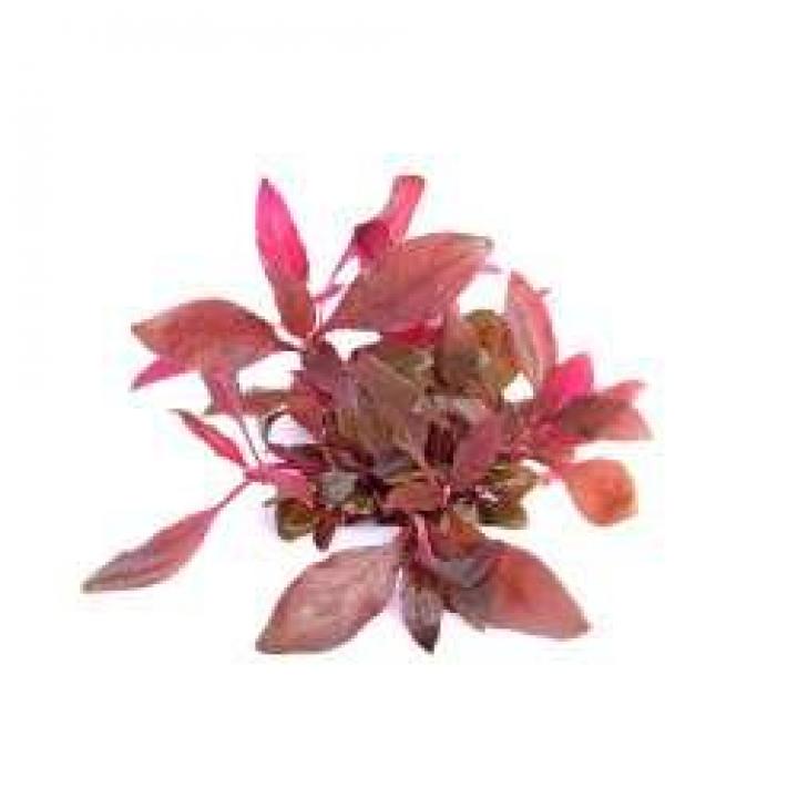 Alternanthera reineckii Purple - easy Categ.
