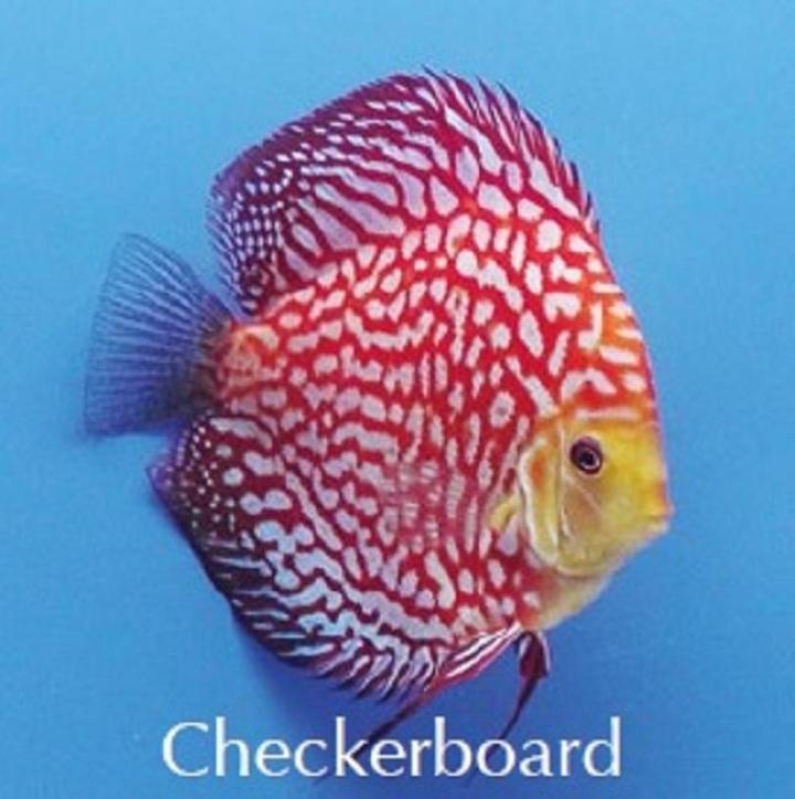 Discus Checkerboard 8cm