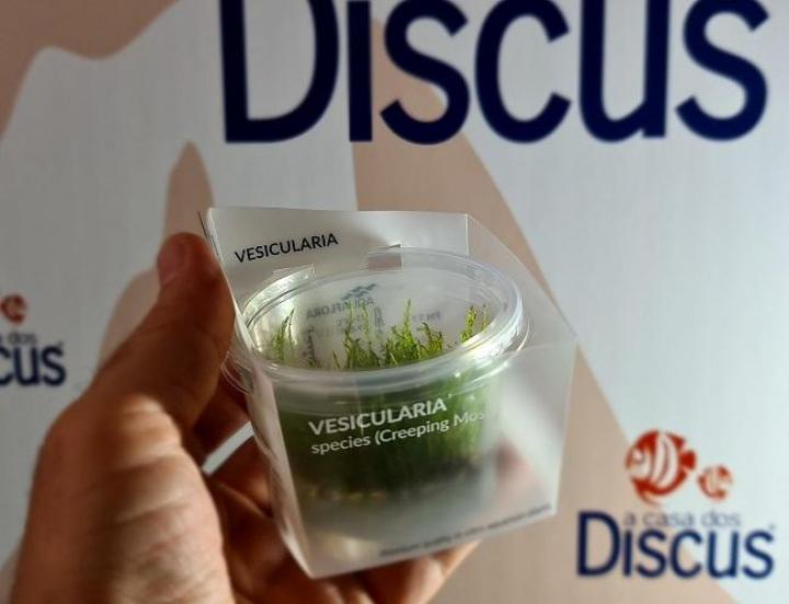 Vesicularia species (Creeping Moss) - In Vitro Cup