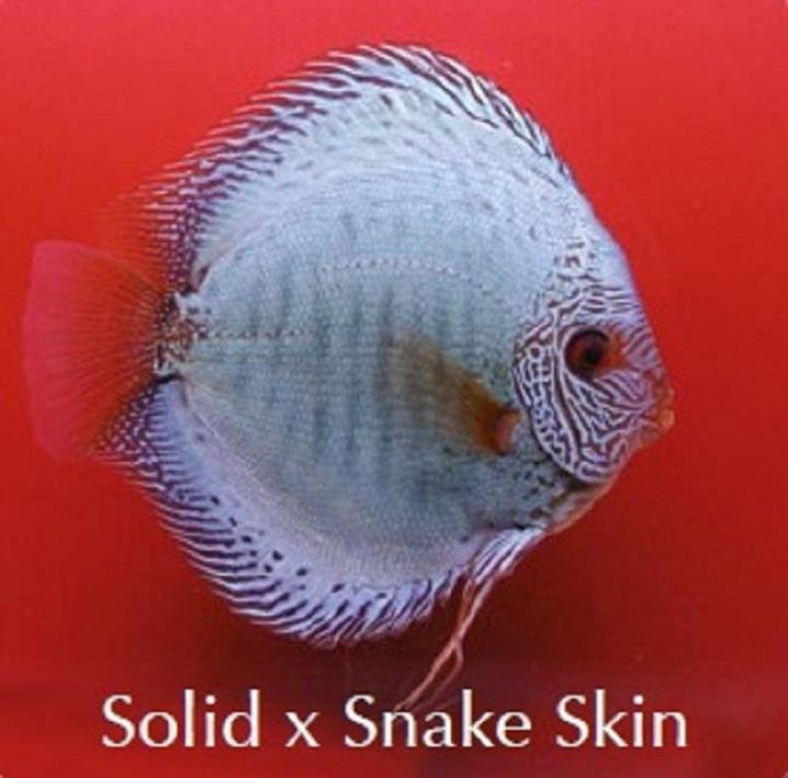 Discus  SolidxSnake Skin 8cm